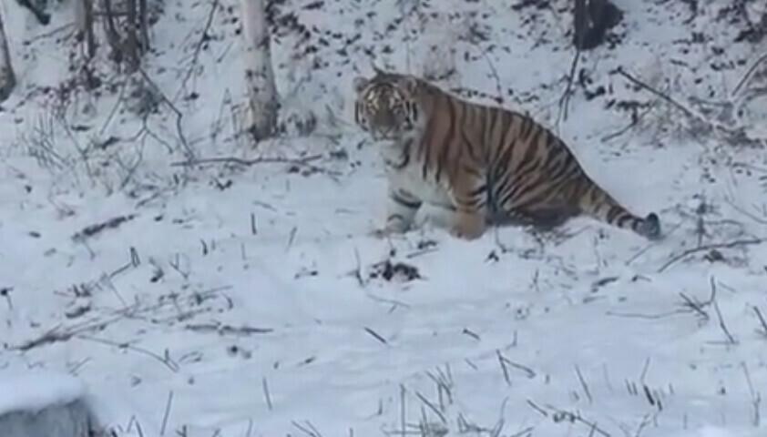 В Хабаровском крае сняли на видео недоумевающего тигра видео